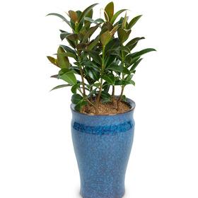 고무나무 s405