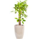 뱅갈고무나무 s214