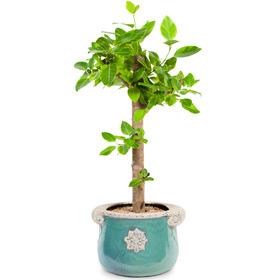 뱅갈고무나무 s216