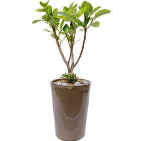 뱅갈고무나무 s9701