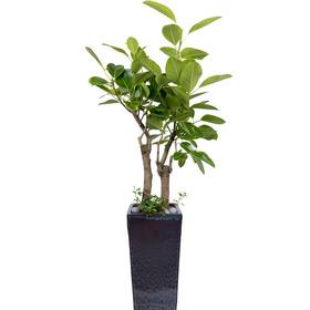 뱅갈고무나무 s9800