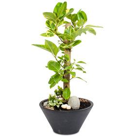 뱅갈고무나무 s716