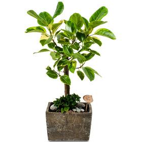 뱅갈고무나무 s718