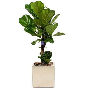 떡갈나무 s527