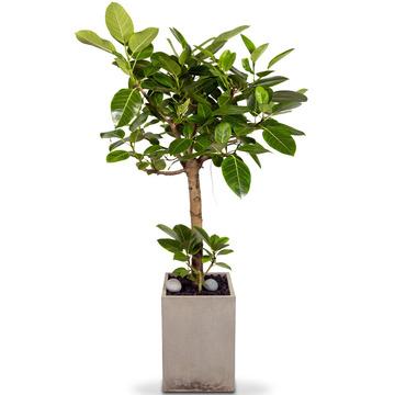 뱅갈고무나무 s39