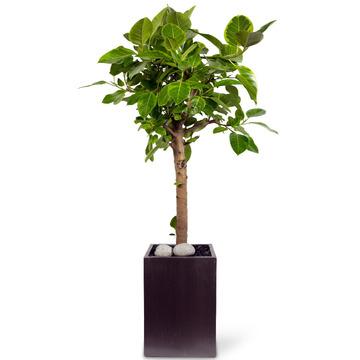 뱅갈고무나무 s102