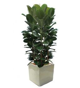 고무나무 s99