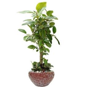 뱅갈고무나무 s42