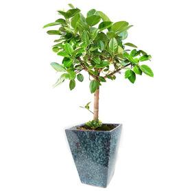 뱅갈고무나무 s231