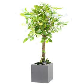 뱅갈고무나무 s189