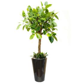 뱅갈고무나무 s474