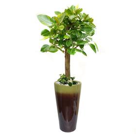 뱅갈고무나무 s473
