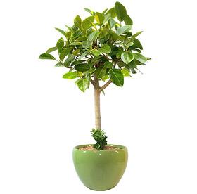 뱅갈고무나무 s1800