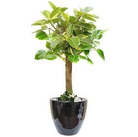 뱅갈고무나무 s1779