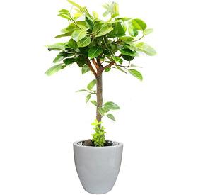 뱅갈고무나무 s1677