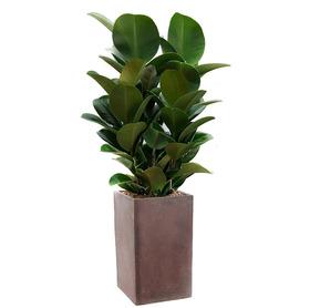 고무나무 s5056