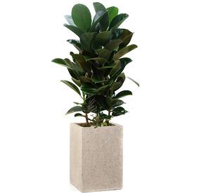 고무나무 s5059