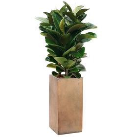 고무나무 s3155