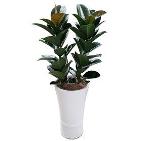 고무나무 s875