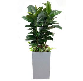 고무나무 s560