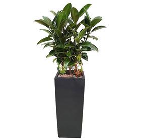 고무나무 s5051