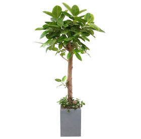 뱅갈고무나무 s-122