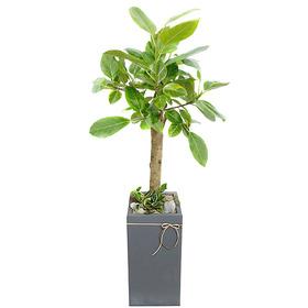 뱅갈고무나무 s4121