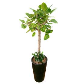 뱅갈고무나무 s771