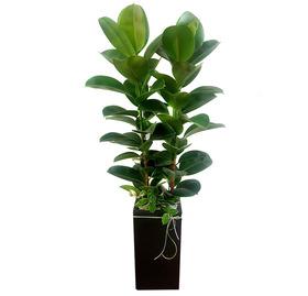 고무나무 s501