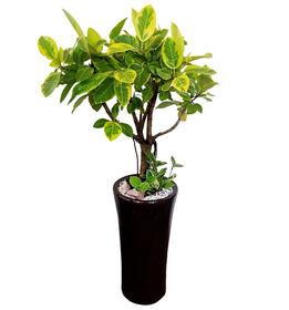 뱅갈고무나무s772