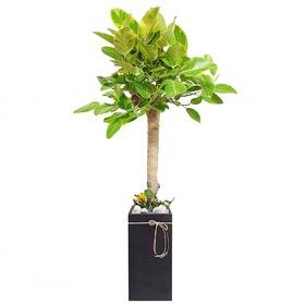 뱅갈고무나무 s11