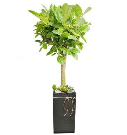 뱅갈고무나무 s250