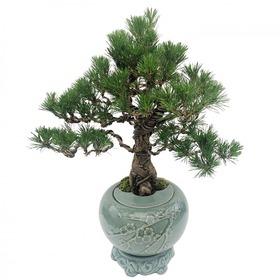 도자기소나무분재s609