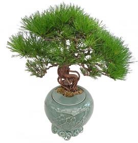 도자기소나무분재s612