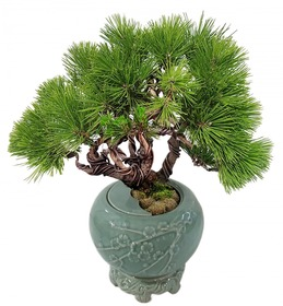 도자기소나무분재s630