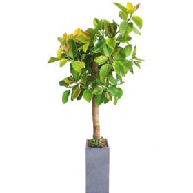 뱅갈고무나무 s770