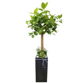 뱅갈고무나무 s630