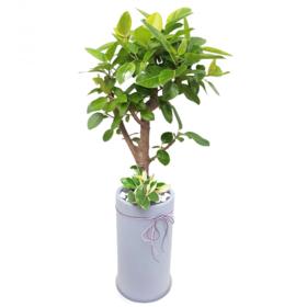 뱅갈고무나무 s560