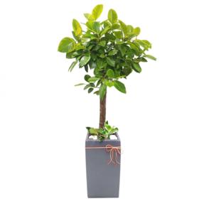 뱅갈고무나무 s470