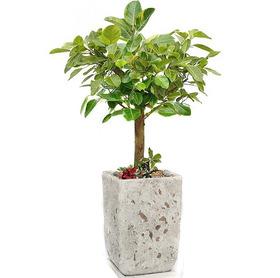 뱅갈고무나무 s232