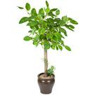 뱅갈고무나무 s215