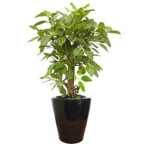 뱅갈고무나무 s40