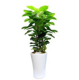 뱅갈고무나무 s41